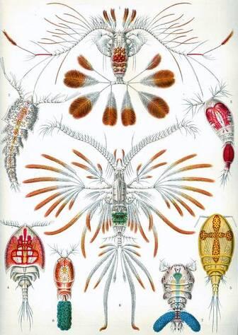 La diversité des copépodes, petits crustacés omniprésents parmi le plancton des océans et des eaux douces, a toujours fasciné les biologistes, comme le montre cette planche de Ernst Haeckel, dessinée en 1904. © Domaine public