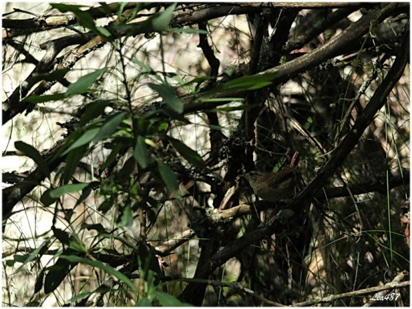 Oiseaux-3-2338-troglodyte-mignon.jpg