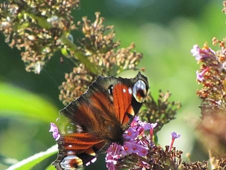 les-papillons-6424.JPG
