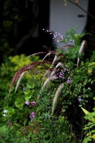 Associations de plantes : autour du pennisetum setaceum rubrum