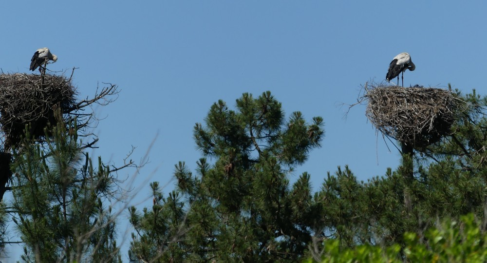 Cigognes et cigogneaux au Parc du Teich...