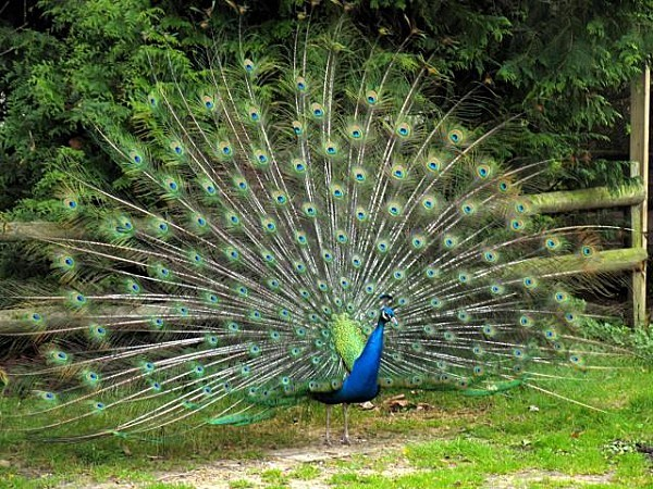 Peacock in the grounds of the Old Mill - geograph org uk -