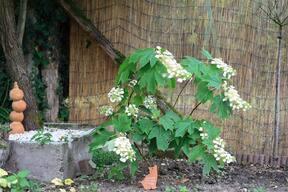 Hydrangéa Quercifolia à feuilles de chêne