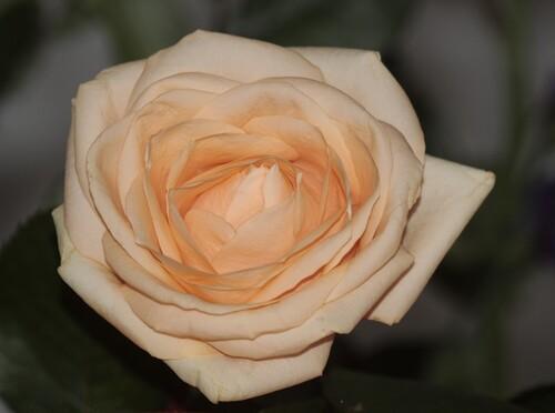 Roses des jardins suspendus