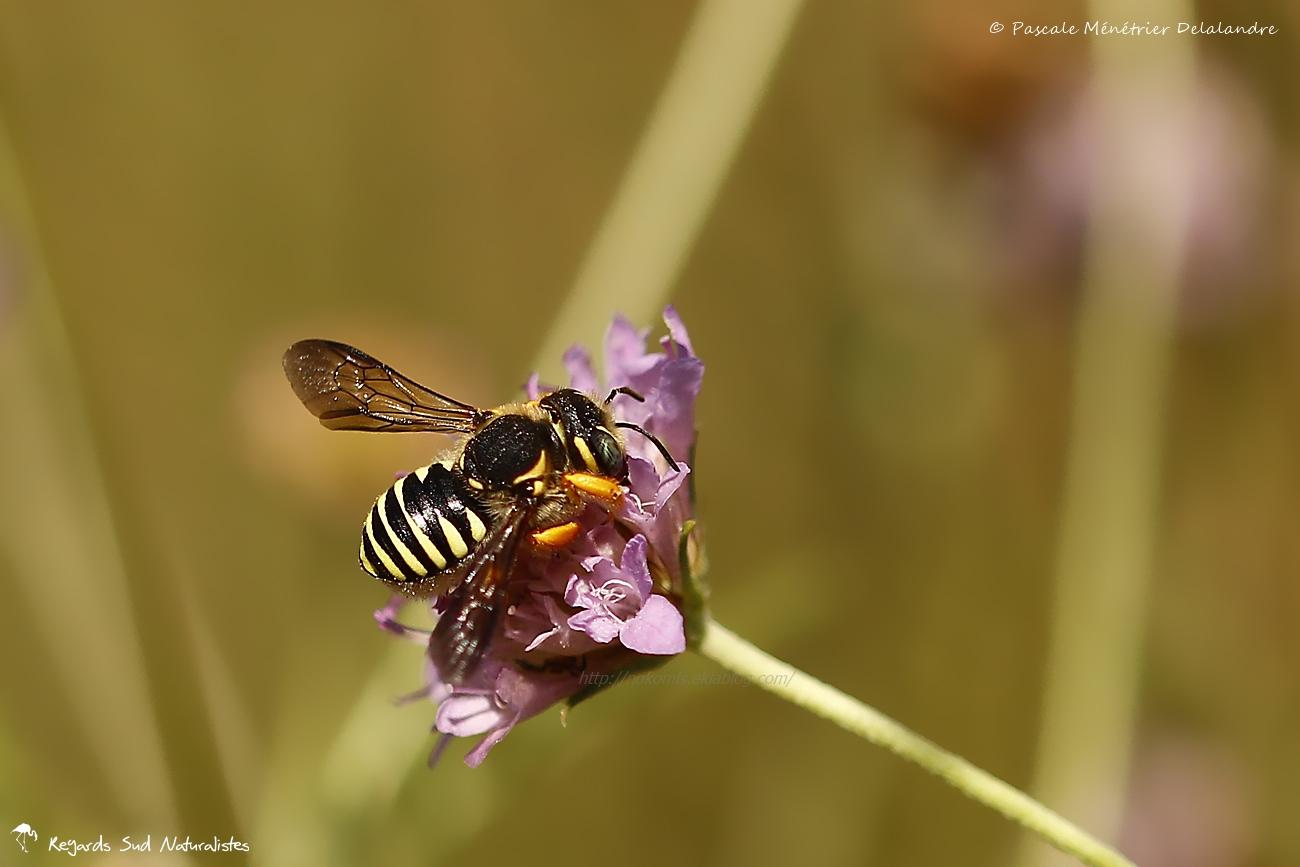 Anthidium ♀