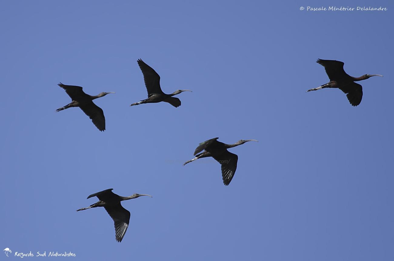 Ibis falcinelles