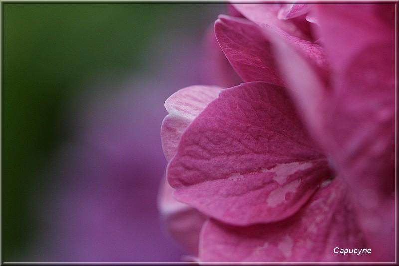 Variations sur les hortensias-hydrangéas