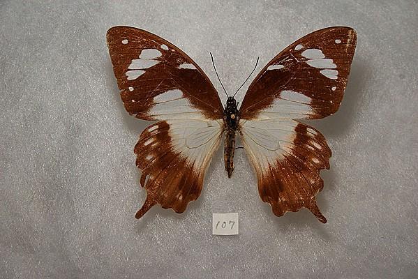 800px-Papilio dardanus antinorii female