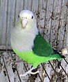 100px-Grey-headed Lovebird