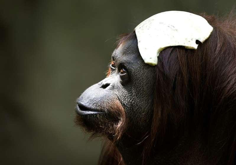 Pour se remettre d'une dépression, une orang-outan nommée Sandra quitte l'Argentine pour une réserve de Floride