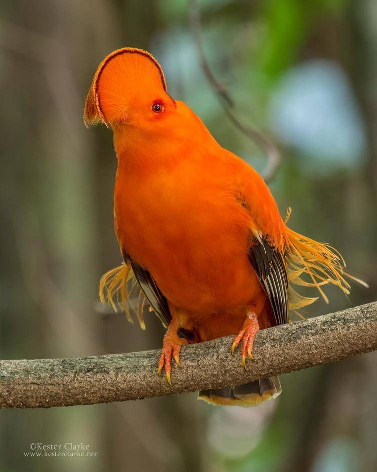 Just take a look at this beauty, this is a Guiana rock cock