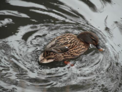 Deux beaux canards