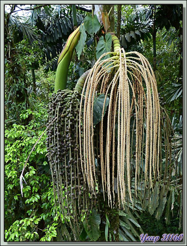Blog de images-du-pays-des-ours : Images du Pays des Ours (et d'ailleurs ...), Fruits de palmiers - Arenal - Costa Rica