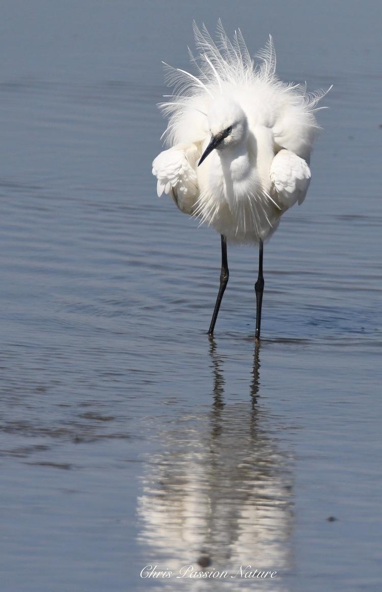 Aigrette Garzette en plumage nuptial