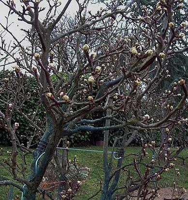 Le jardin : Arbres fruitiers ,maladies et traitements