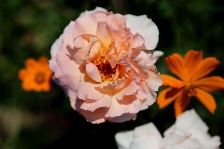 Les Roses de Warren : Wow Factor