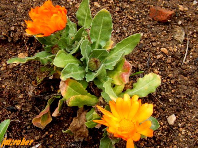 Quelques vivaces fleurissent en ce début Mars , dont cette annuelle généreuse