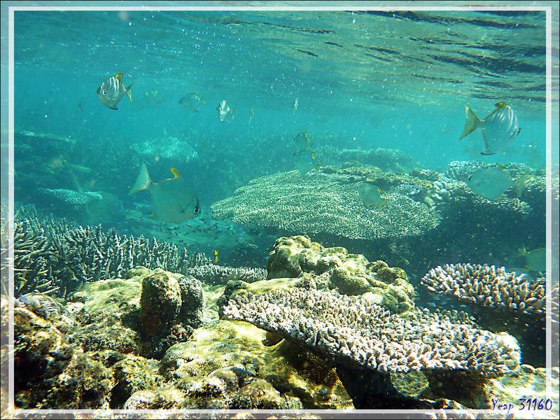 Snorkeling à Grande Mitsio : Monodactyle argenté, Lune d'argent, Silver moony, Finger fish (Monodactylus argenteus) - Madagascar