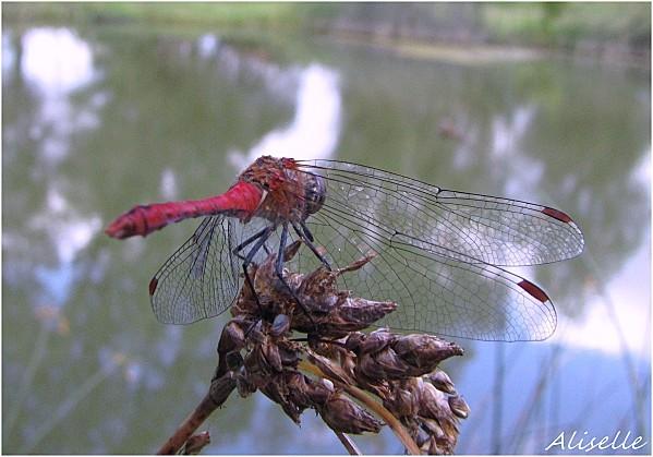 Libellule-rouge-l-Eleonore-6.jpg