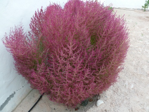 Petit arbuste vert à la naissance, devenu rose-mauve en grandissant