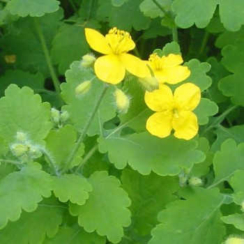 "Chélidoine ""Herbe aux verrues"" (Chelidonium majus) Graines"
