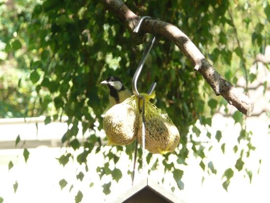 oiseaux mésanges (4)