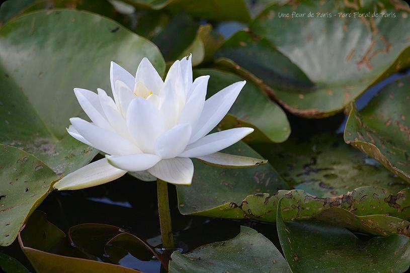 Parc Floral de Paris : Fleurs de Lotus
