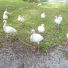 ibis blancs
