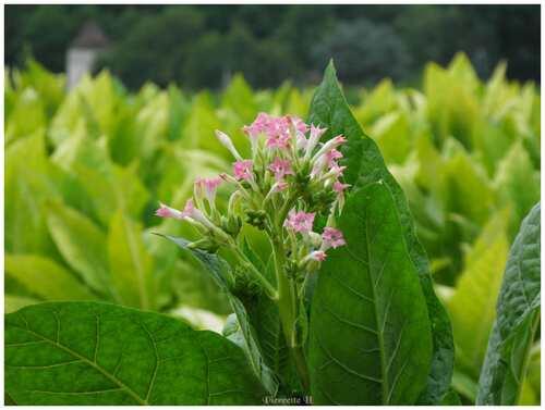 Les fleurs du tabac