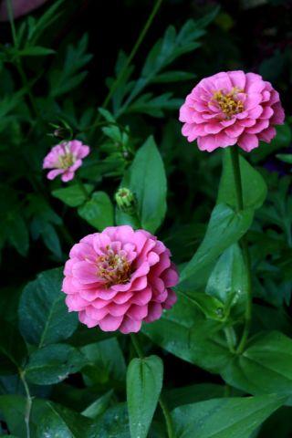 Roseraie - Septembre (3/4)