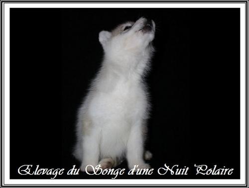 Le Husky aboie-t-il beaucoup ?