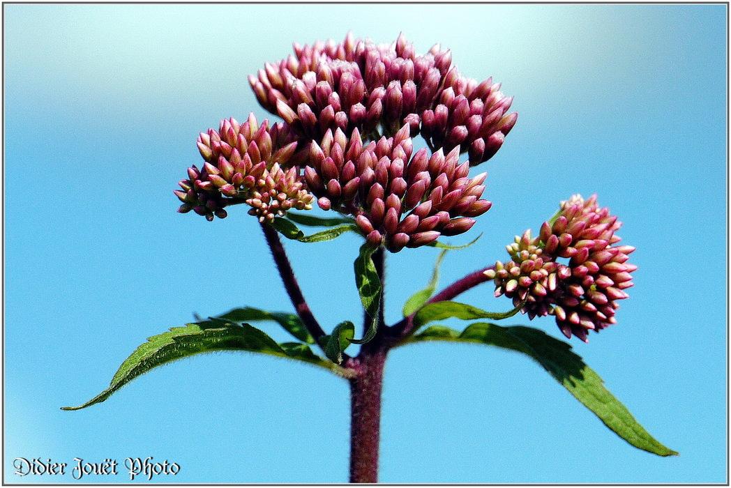 Eupatoire Chanvrine / Eupatorium cannabinum