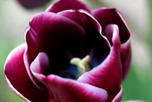 Tulipes Arabian Mystery9