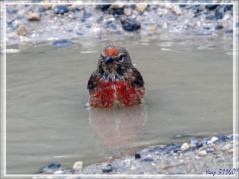 Le bain de la Linotte mélodieuse mâle, Common Linnet (Linaria cannabina) - La Couarde-sur-Mer - Île de Ré - 17
