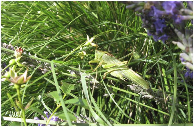 - La grande sauterelle verte