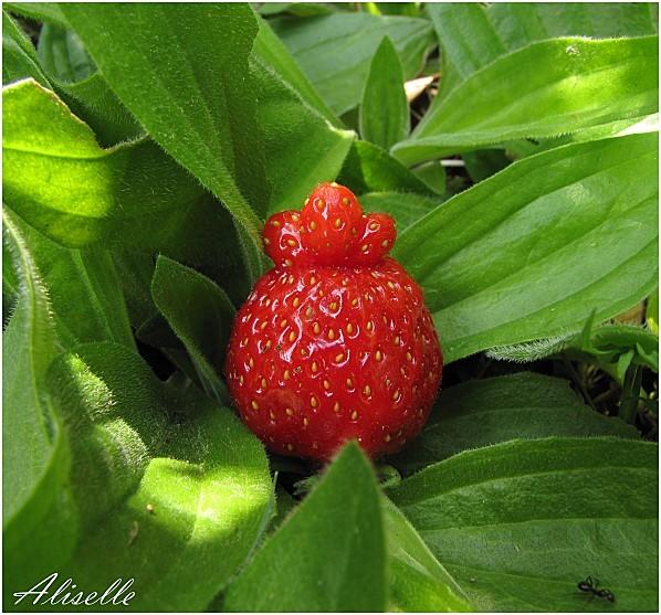 reine-des-fraises-2.jpg