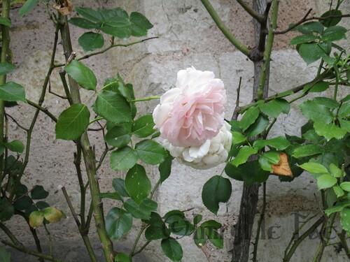 Rose de rosier grimpant sur le mur d'une maison en pierre.