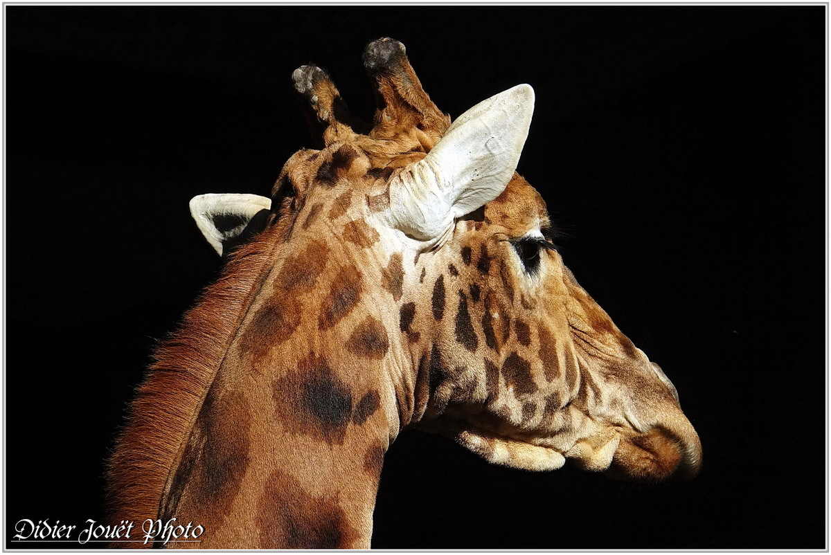 Girafe du kordofan (1) - Giraffa camelopardalis antiquorum