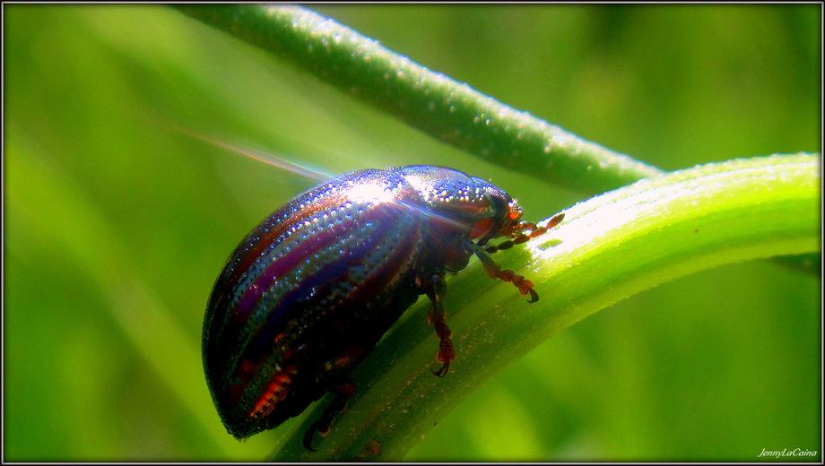 Coléoptère Chrysomelidae