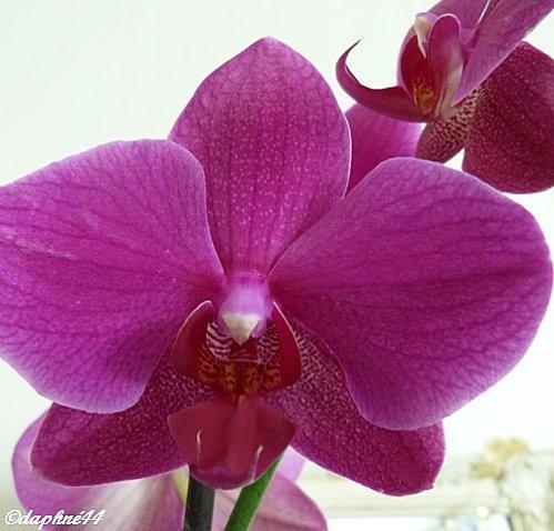 phal-fleur-recadree.jpg