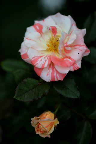 Les Roses de Warren : Dandy Andy