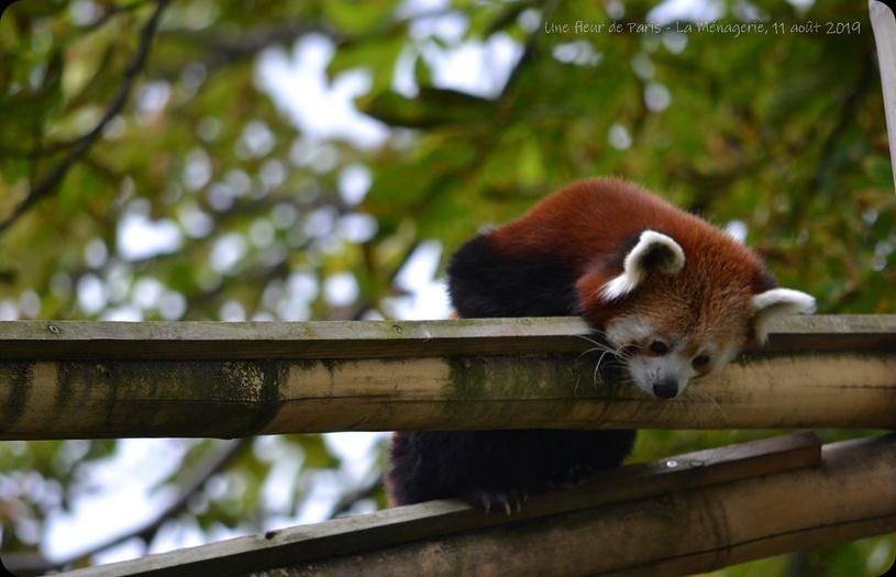 La Ménagerie, Zoo du Jardin des Plantes : Maya et Taj Min couple de pandas roux