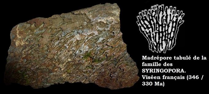 Syringopora