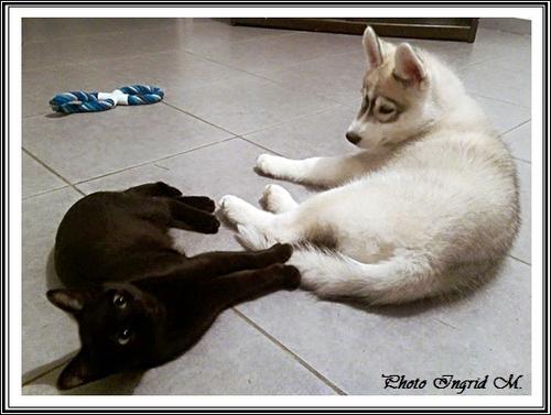 Le Husky s'entend-il avec les autres animaux ?