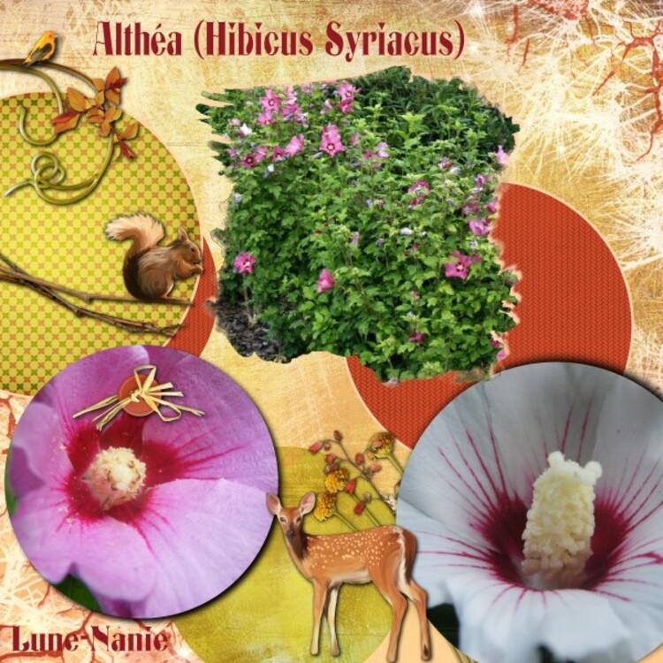 Althéa (Hibicus Syriacus)