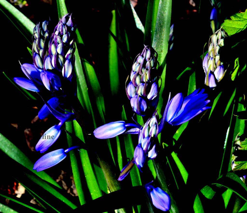 Les fleurs de mon jardin (9) Les jacinthes sauvages de mon jardin  !