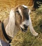 """Résultat de recherche d'images pour """"goat long ears"""""""