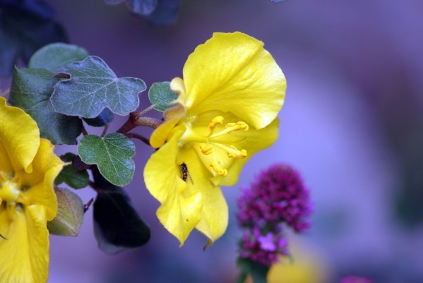 Fremontodendron Jacquie 3289