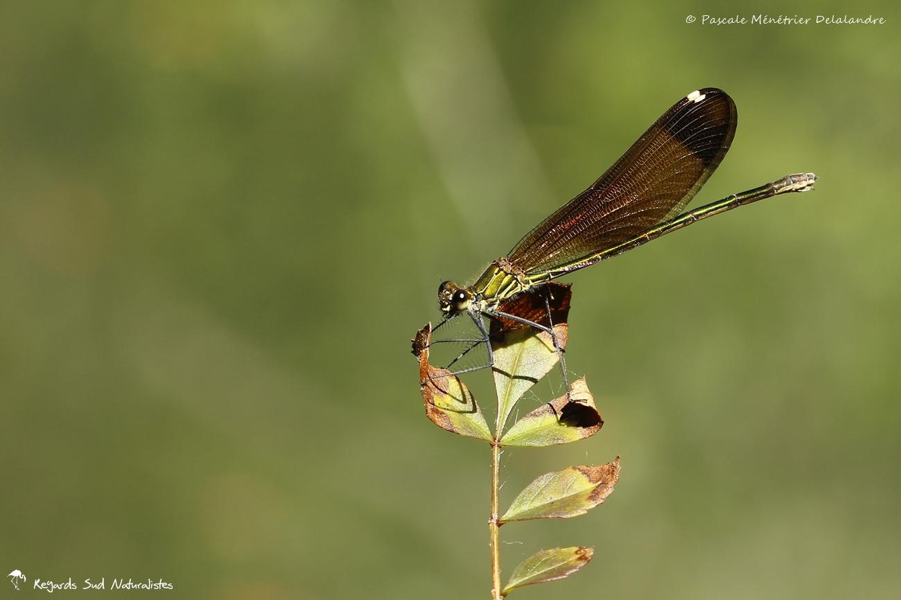 Caloptéryx hémorroïdal ♀ - Calopteryx haemorrhoidalis