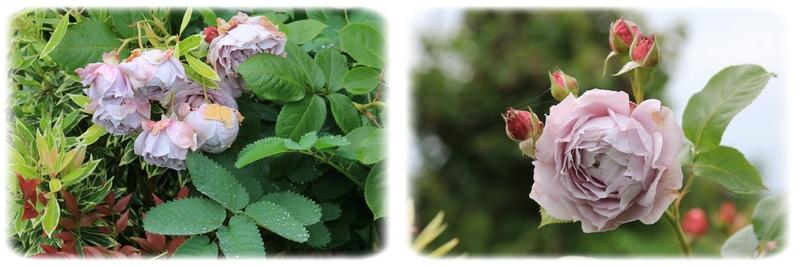 Les roses font la tronche ...